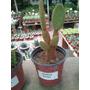 Cactus Colorado Maceta N 10
