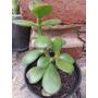 Crassula Ovata-jade-moneda-kalanch -crasas-cactus- Orquideas
