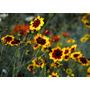 Coreopsis De Las Praderas Semillas Para Plantas