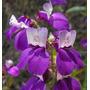 Casas Chinas, Colinsia Bicolor, Heterophylla Semillas