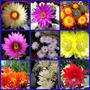 Mammillaria - Semillas De Cactus (pack X 50 Semillas)
