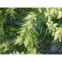 Sobre 10 Semillas Siembra Acacia Floribunda