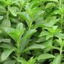 Stevia. Semillas Fértiles Y Orgánicas