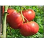 Semillas Tomate Platense Redondo X 2 Sobr Elviveruski Huerta