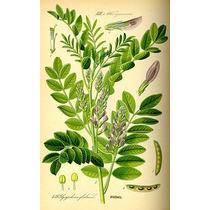Orozuz, Regaliz - Semillas Para Plantas