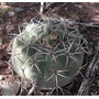 100 Semillas De Cactus Gymnocalycium Malanzan