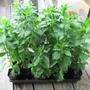Semillas De Stevia Rebaudiana,originario Paraguay