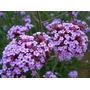 Purple Top Verbena Verbena Bonariensis Semillas Para Plantas