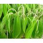 Semillas De Matico - Arbol Medicinal - Piper Aduncum