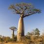 Semillas De Baobab - Arbol Botella - Adansonia + Regalo