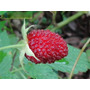 Semillas De Mora Australiana - Rubus Rosifolius