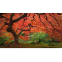 Arce Japonés Acer Palmatum Árbol Bonsai Semillas P/ Cultivo