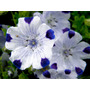 Nemophila 5 Puntos Maculata Flor Anual Semillas Para Plantas