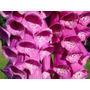 Semillas De Foxglobe Excelsior Mix - Flor Digitalis