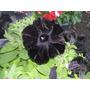 Semillas De Petunias Negras Únicas En Argentina