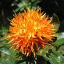 Semillas Cártamo Naranja. De Hojas Y Flores Comestibles