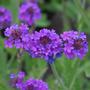 Verbena Rigida Flor Semillas Para Plantas