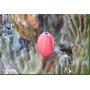 Cactus Manzana De Peru Cereus Peruvianus Monstruosa Semillas