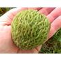 Rambutan Annona Spraguei Árbol Fruta Semillas