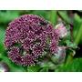 Semillas: Angelica Gigas Planta Ornamental Y Medicinal China