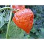 Linterna China, Physalis Alkekengi Semillas Para Plantas