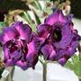 Semillas De Rosa Del Desierto - Flor Triple Violeta