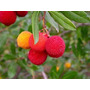 Semillas De Madroño Arbutus Unedo Madroñero Fruta Árbol