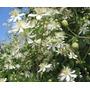 Clematis Songorica - Enredadera - Flor Semillas