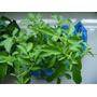 Albahaca Hoary, Ocimum Basilicum Semillas Para Plantas