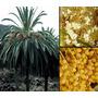 50 Semillas De Palmeras De Las Islas Canarias