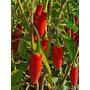 Pimienta Malagueta - Semillas Para Plantas