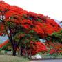 8 Semillas Flamboyant Árbol De Fuego Chivato Delonix Regia