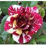 Semillas De Rosas Tigre Rosas Exóticas Estratificadas Unicas