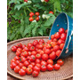 Tomate Cherry Gigante Cereza Semillas Para Plantas