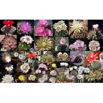 Mix 50 Semillas Cactus Gymnocalicium (12 Especies)