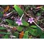 Streptocarpus Rexii Flor Semillas Para Plantas