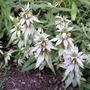 Spotted Bee Balm Monarda Punctata Flor Hierba Semillas