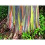 100 Semillas Frescas Eucalipto Arco Iris Eucalyptus Deglupta