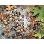 30 Semillasquercus_palustris-vilmorin-roble_de_los Pantanos