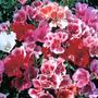 Godetia Monarch Mix - Flores Anuales Semillas Para Plantas