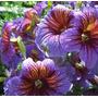 Trompetas De Terciopelo Salpiglossis Semillas Para Plantas