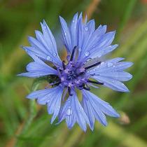 Centaurea Cyanus, Aciano, Flor Azulejo Semillas Para Plantas