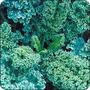 Combo Semillas De Kale. Tres Variedades