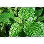 Cedronella Melisa Melissa Officinalis Semillas Para Plantas