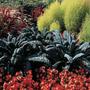 Col Negra De Toscana Borecole Semillas Para Plantas