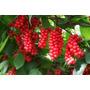 Schisandra Chinensis Fruta De Los Cinco Sabores Semillas