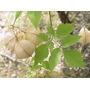 Globito Cipo, Cardiospermum Grandiflorum Semillas