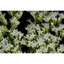 150 Semillas De Stevia O Yerba Dulce Orgánica