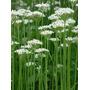 Nira, Cebollino Allium Tuberosum Semillas Para Plantas