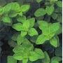 Semillas De Oregano X2 Aromaticas Hortalizas Semilla